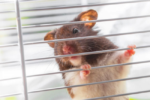 are hamsters good pets - hamster escaping