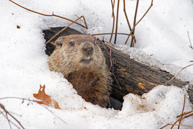 how to get rid of groundhogs - groundhog emerging from snow-covered den