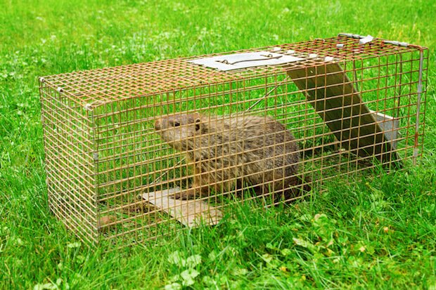 how to get rid of groundhogs - groundhog in a trap