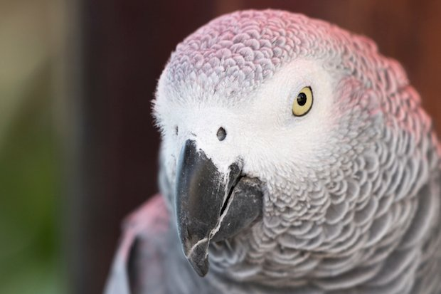how to teach parrots to talk - African grey parrot