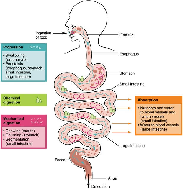 A diagram of how food passes through a human digestion track. Swallowed gum is usually passed in the stool.