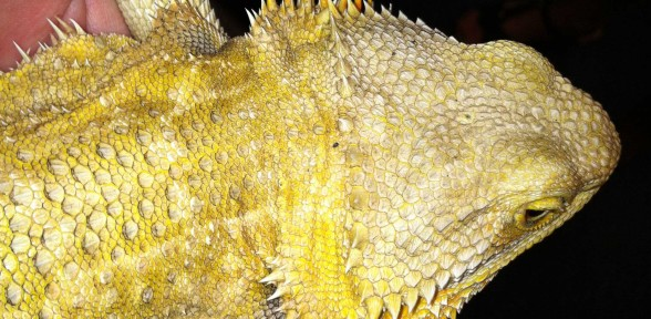 My Lizard Is Losing His Scales Could It Be Parasites Or