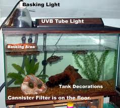 I have two musk turtles. The female spends a lot of time on the ...
