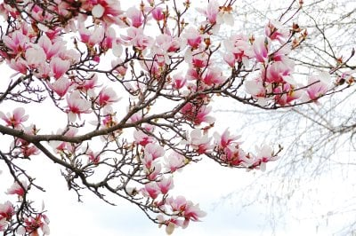 My Magnolia Has Blossoms But No Leaves We Planted It In The Spring