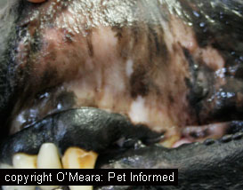 Dogs Are Developing Black Gums And Tissue On Roof Of Mouth