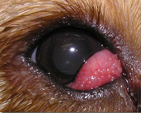 Red Eye Corner Dog