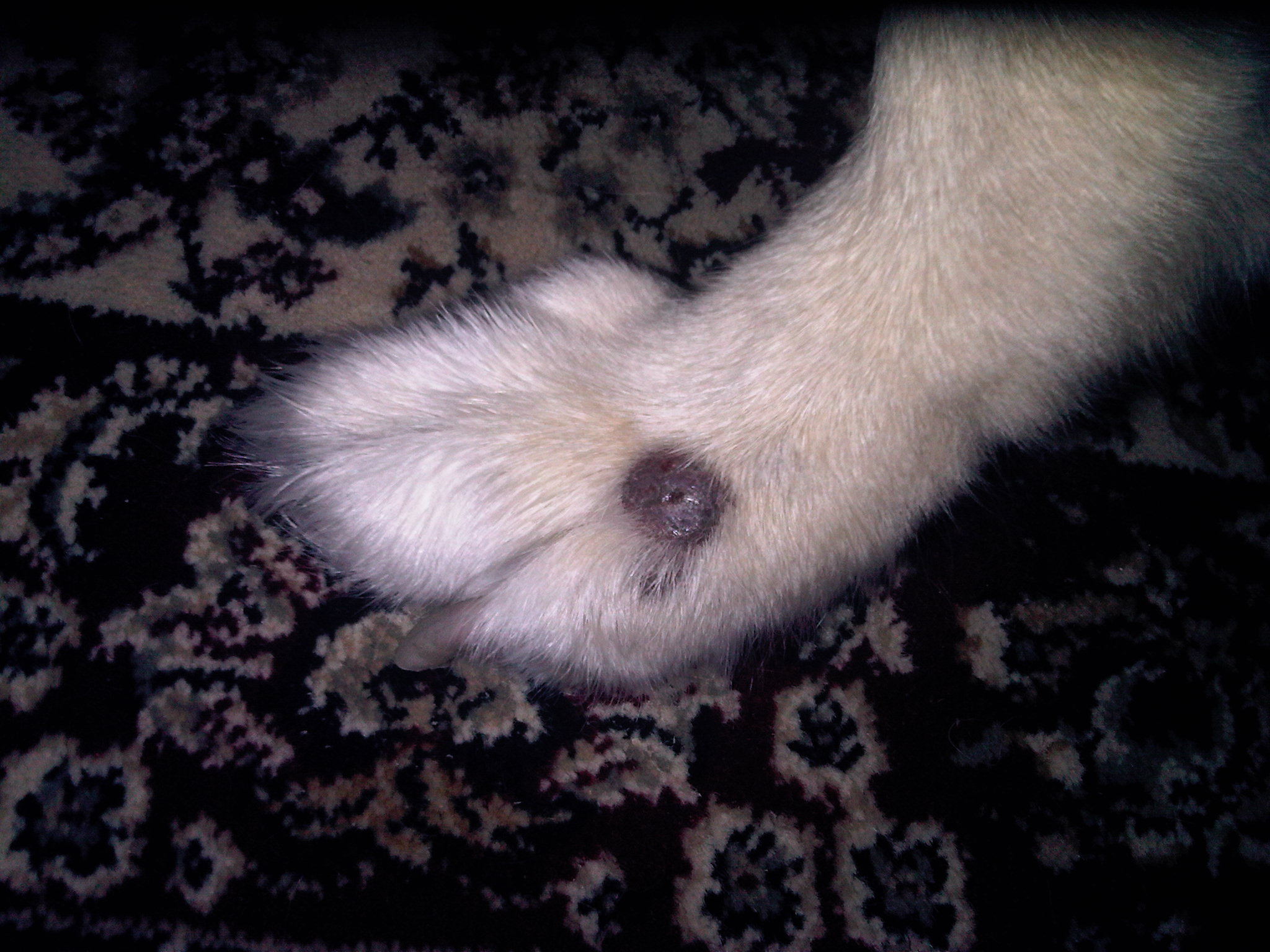 Dog Has Swollen Paw