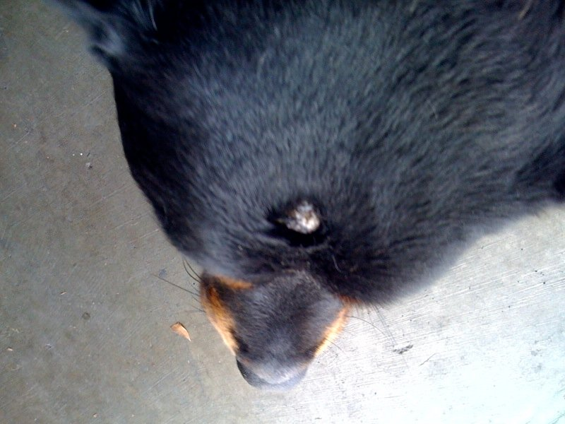 My 4 year old rottweiler has a 1.5cm round bump on the top of her head.  There is no hair over the bump and the skin is