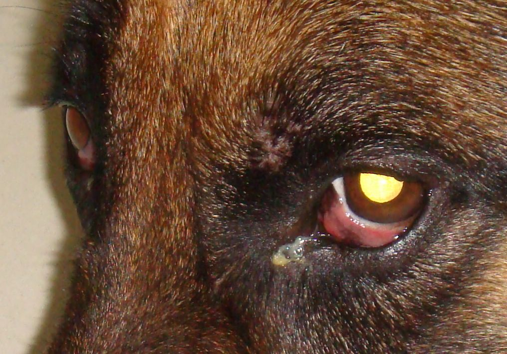 Black Eye Discharge In Dogs
