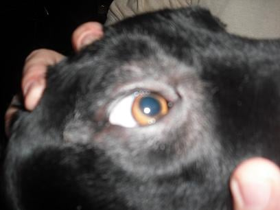 My Dog Has A Spot Around His Right Eye That Is Missing Fur