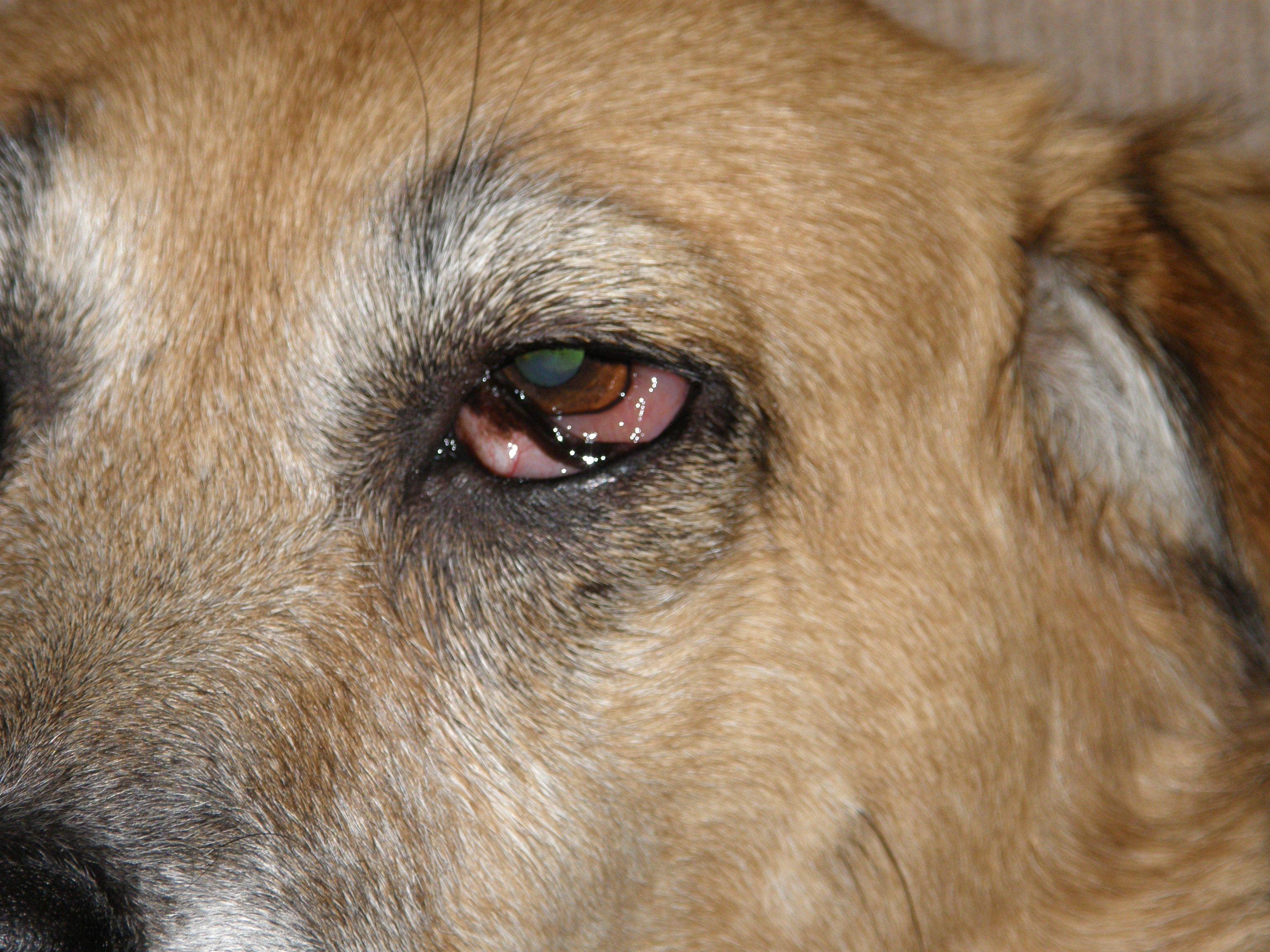 Dogs Right Eye Swollen