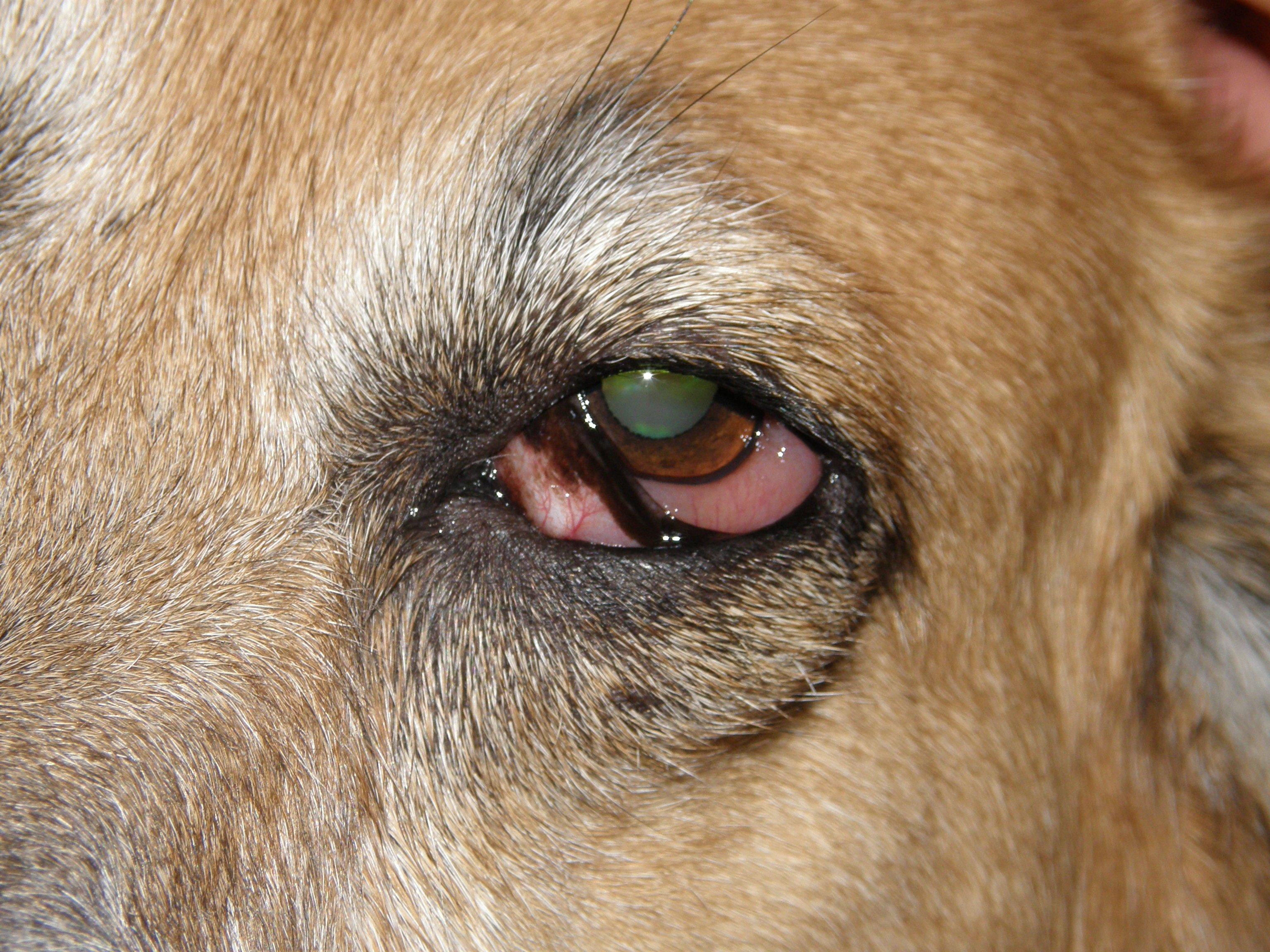 Swollen Eye Gland In Dogs